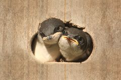 Baby Birds In a Bird House Royalty Free Stock Photography