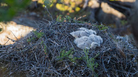 Baby birds of a bird of prey. Of the buzzard in a nest Stock Photos