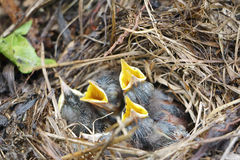 Baby birds of a bluethroat in a nest. In the summer Royalty Free Stock Photos