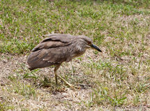 Baby birds, chick night heron Royalty Free Stock Photography
