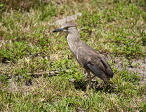 Baby birds, chick night heron with brown feathers Stock Image