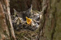 Baby birds, chicks in a nest on tree close-up. Baby birds with yellow beaks in the nest close-up in sunlight royalty free stock photography