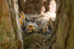 Baby birds, chiks in a nest close-up, macro. Baby birds, chiks in a nest on tree in forest stock photos