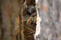 Baby birds, chiks in a nest on tree close-up. Baby birds, chiks in a nest on tree in forest royalty free stock photo