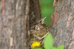 Baby birds, chiks in a nest on tree close-up. Baby birds, chiks in a nest on tree in forest royalty free stock photography