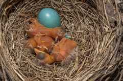 Baby birds and cracked egg stock photos