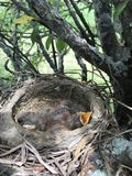 Baby birds royalty free stock photos