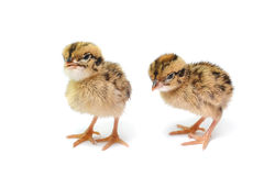 Baby birds Stock Photography