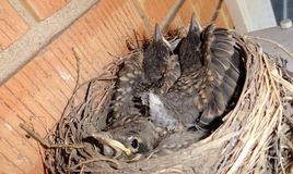 THE BABY BIRDS HAVE OUTGROWN THEIR NEST, TIME TO FIND A BIGGER NEST Royalty Free Stock Images