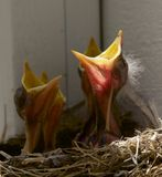 Baby Birds Royalty Free Stock Photography