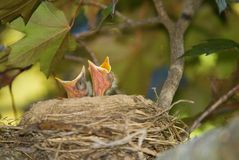 Baby Birds Looking to Eat Royalty Free Stock Photos