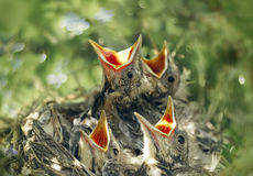 Baby birds in the nature Royalty Free Stock Photos