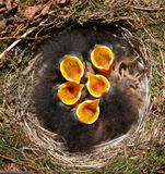 Baby birds in nest. Baby robin birds in nest with mouths open Stock Photo