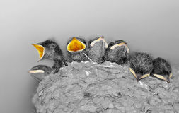 Baby birds in a nest. Cute baby swallows in a crowded nest with their mouths open for feeding time stock photos