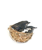 Baby birds in the nest. Royalty Free Stock Photos