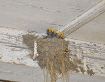 Baby birds. In a nest royalty free stock images
