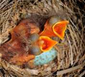 Baby Birds in Nest Royalty Free Stock Photos