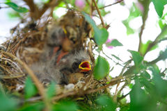 Baby Birds In A Nest. Newly hatched sparrows with fine down feathers in a nest waiting for their parents Royalty Free Stock Images
