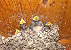 Baby Birds Stock Photography