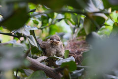 Baby birds in a nest looking for. Stock Photo