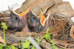 Baby birds in nest Stock Photography