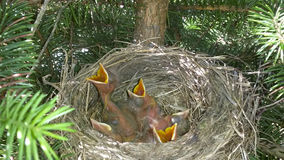 Baby birds in nest with mouths open stock images