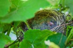 Baby birds in nest Stock Photos