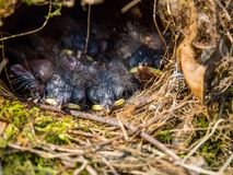 Baby Birds in Nest, New Born Birds Sleeping royalty free stock images