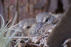 Baby birds in a nest. Almost newborn baby birds in a nest hairless Stock Photo
