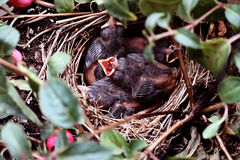 Baby Birds in a Nest Royalty Free Stock Photography