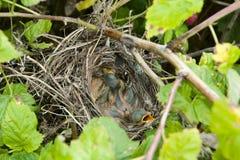 Baby Birds in Nest. Baby Birds in Shrubs Nest royalty free stock photos