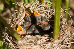 Baby birds in nest Royalty Free Stock Image