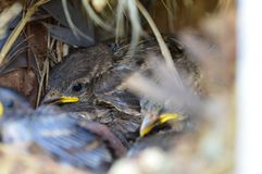 Baby birds in nest. Baby sparrow birds huddled together in a bird`s nest royalty free stock images