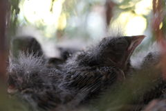 Baby birds in nest spring photo. Baby birds in nest on the tree spring photo stock photography
