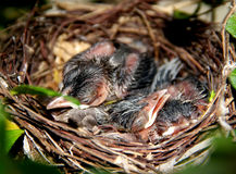 Baby birds in the nest Stock Photos