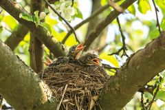 Baby birds in a nest on a tree branch in spring stock photography