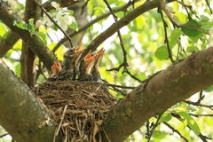 Baby birds in a nest on a tree branch in spring in sunlight royalty free stock images