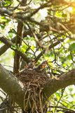 Baby birds in a nest on a tree branch in spring in sunlight royalty free stock image