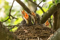 Baby birds in a nest on a tree branch in sunlight close up, macro stock photos