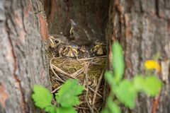 Baby birds in a nest on tree close-up. Baby birds with yellow beaks in the nest close-up royalty free stock image