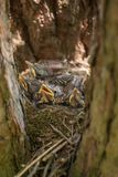 Baby birds in a nest on a tree close-up. Baby birds with yellow beaks in the nest close-up in forest royalty free stock photo