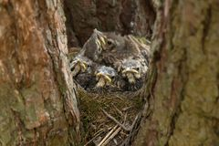 Baby birds in a nest on tree close-up. Baby birds in a nest on tree in forest close-up stock photos