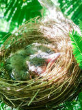 Baby birds in a nest on tree nature Royalty Free Stock Photo