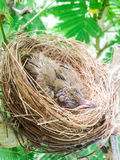 Baby birds in a nest on tree nature Royalty Free Stock Photography