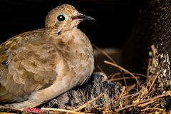 Baby birds in a nest tucked away in the rafters of a porch. The mother is feeding and warming the several week old babies royalty free stock photos