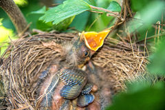 Baby Birds in a Nest. Two baby birds in a nest in the tree Stock Photo