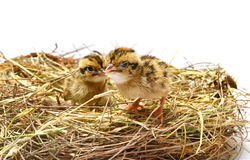 Baby birds in nest Royalty Free Stock Photo