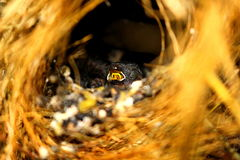 Baby birds in the nest Stock Photography
