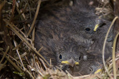 Baby Birds in a nest Stock Image