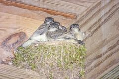 Baby Birds in a nest waiting to be fed. Five birds in a nest waiting for the mother bird to return with something to eat stock photography